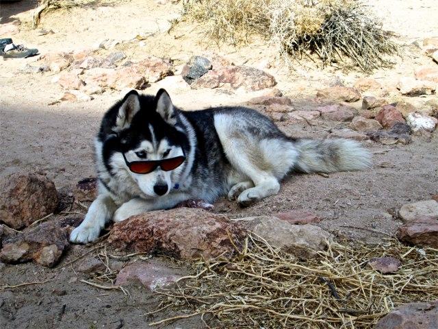 Nanook - 'The Alpha Pup'